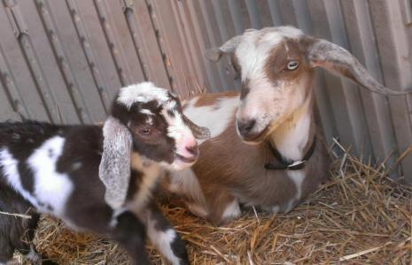 Sample Photo Of Mini Goats Taken With HTC EVO 4G LTE Smartphone